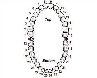 Dentist Tucson - Tooth Chart